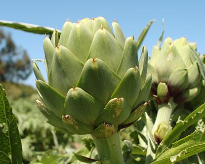 artichoke-plant