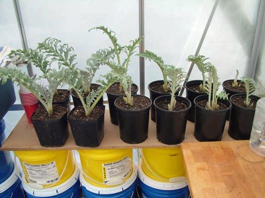 artichoke-pot